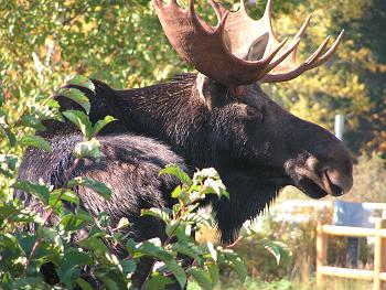 Bull moose at Kokadjo Maine