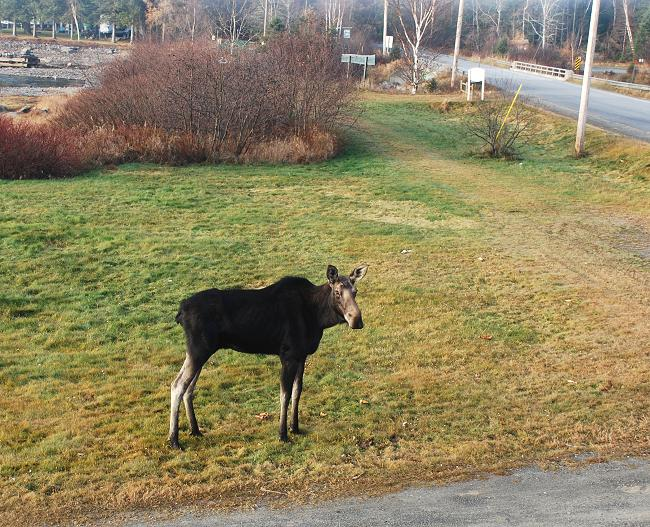 Cow moose in Kokadjo, Maine