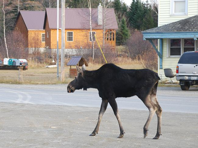 Moose walking by Kokadjo Trading Post in Maine