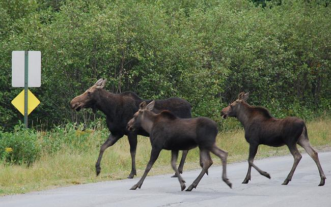 Cow moose with two calves in Kokadjo, Maine