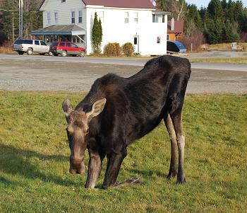 Moose watching in Kokadjo, Maine
