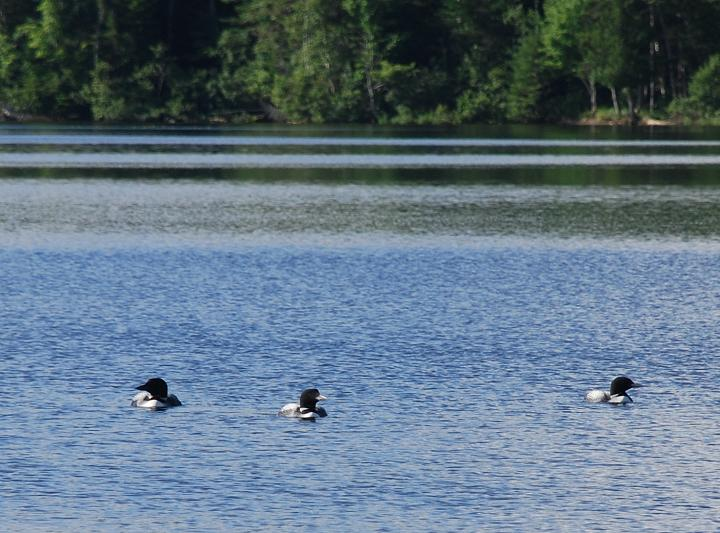 Loons on First Roach Pond at Kokadjo, Maine