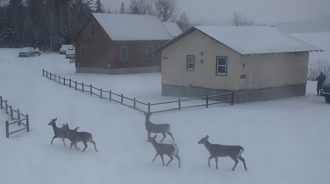 Whitetail deer in Kokadjo, Maine