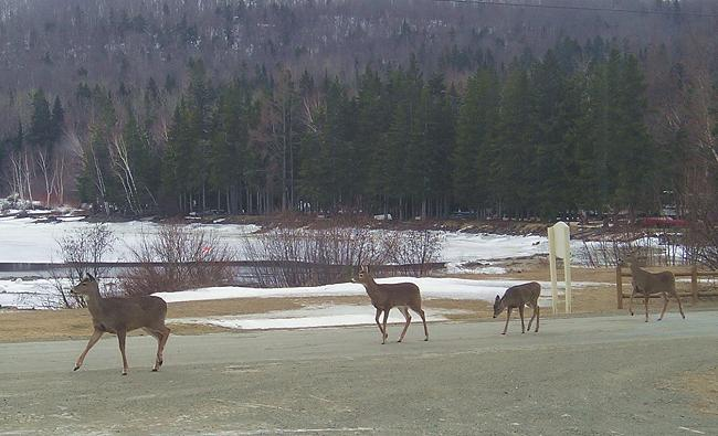 Whitetail deer in front of Kokadjo Trading Post