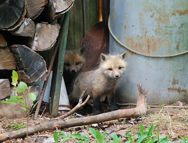 Red fox pups at Kokadjo, Maine