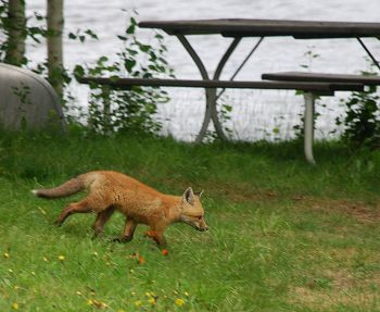 Red fox at Kokadjo, Maine